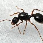 Aphaenogaster-japonica.jpg
